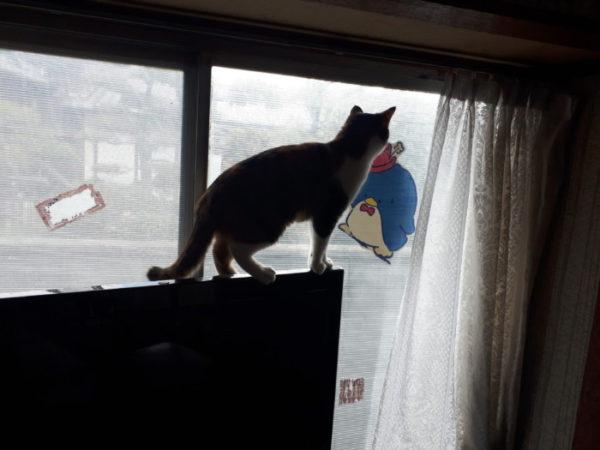 テレビに登る縞三毛猫なめこ。