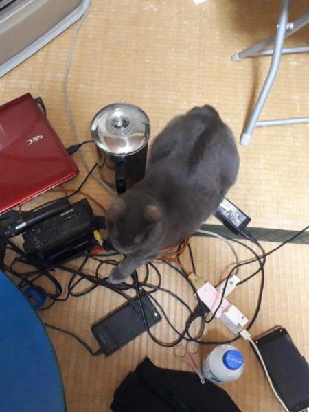 散らかったコードの上で落ち着く灰色猫ししゃも