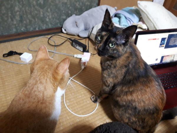 新入り猫がきて意気投合した黄色猫きなことサビ猫しめじ