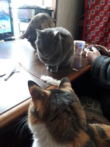 灰色猫ししゃもと縞三毛猫なめこ。