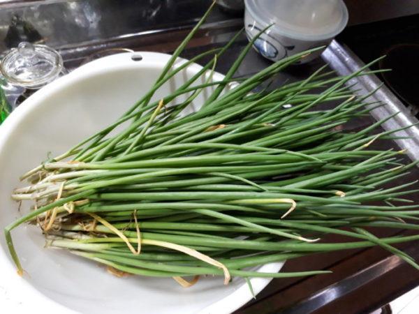 春のワケギの収穫。