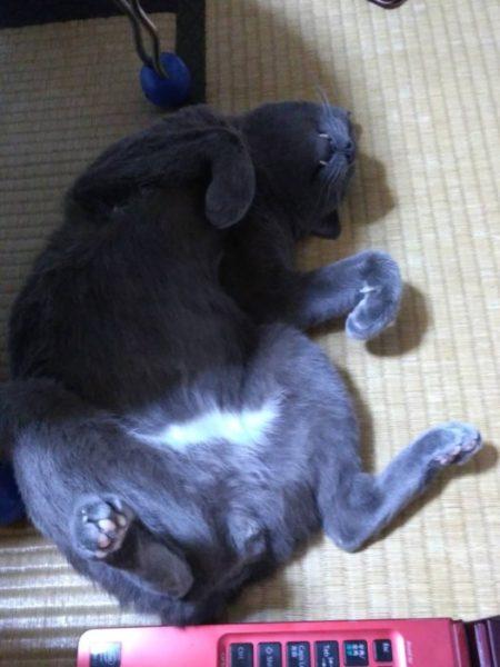灰色猫ししゃもの肛門に黒い粒が…?【肛門嚢炎予防に絞ってみたよ(ФωФ)】