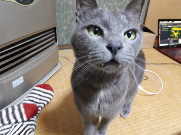 お目め真ん丸の灰色猫ししゃも