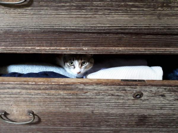 桐だんすの引き出しに入ってる縞三毛猫なめこ