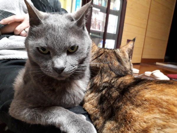 明日で10歳の灰色猫ししゃも