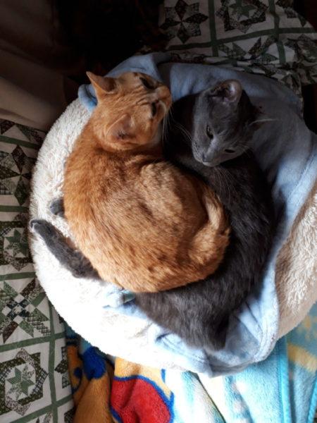 10歳になった灰色猫ししゃも