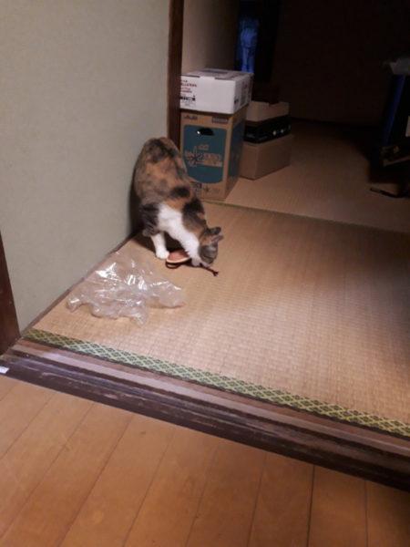 やんちゃくれ縞三毛猫なめことお米とお仏壇の話