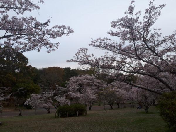 コロナ禍でも、春を皆で楽しみたくて【春のお花を即席押し花&ラミネートに】