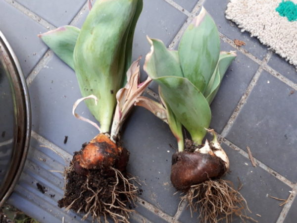 プランター栽培のネギ類&チューリップの球根収穫。