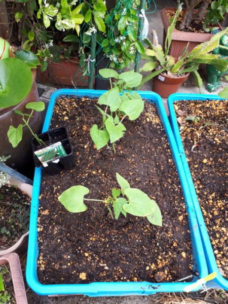 プランター栽培で、今年もお野菜が収穫できそう、オクラ、ミニトマト、インゲンマメ