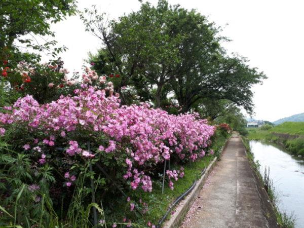 今年も、姫路バラ園にバラの苗を買いに行きました。