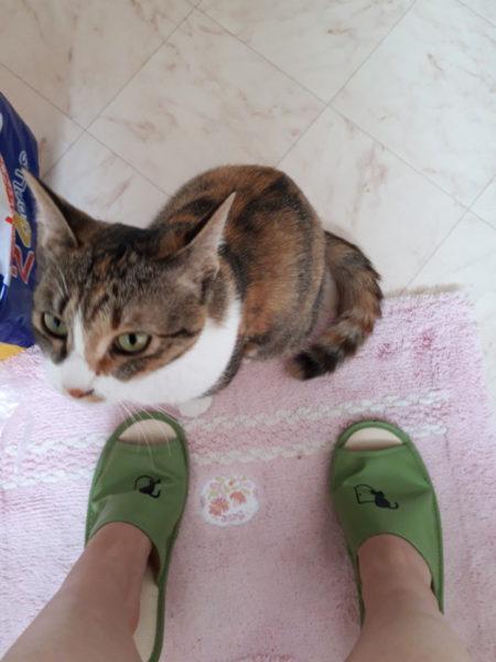トイレに入ってくる縞三毛猫なめこ