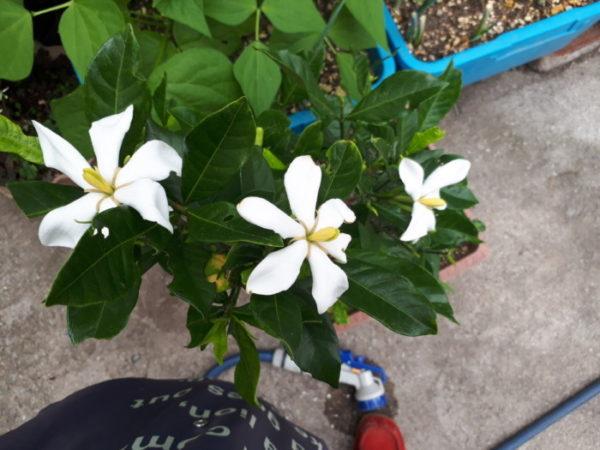 生き返って花を咲かせたくちなし