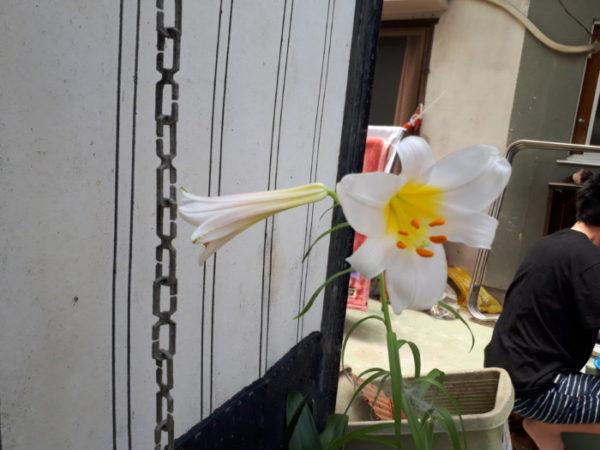 謎の球根植えたらテッポウユリの花が咲いた