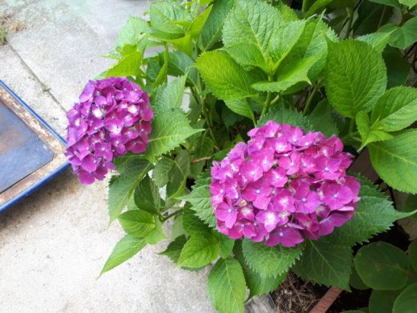 紫陽花の赤い花