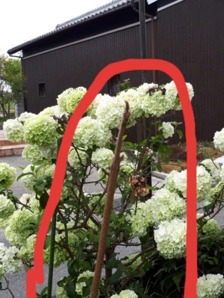 一冬越して花を咲かせたプランターのジャカランダ