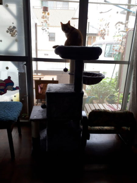 キャットタワーから民を見下ろす黄色猫きなこ