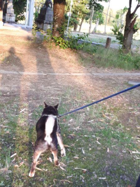 季節の移り変わりを、黒柴犬の大ちゃんと楽しむ散歩。