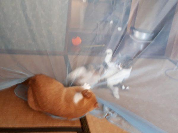 家に迷いこんできた三毛猫子猫を保護して7ヶ月 黄色猫きなこと縞三毛猫なめこ。蚊帳越しにケンカ