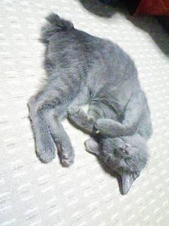 灰色猫ししゃもの子猫時代の画像