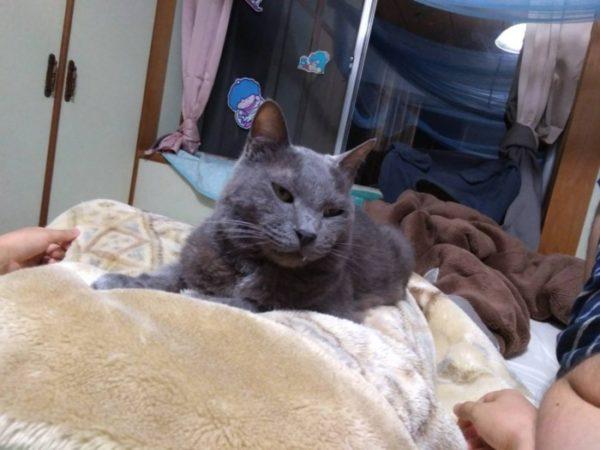寝転ぶ母ちゃんの、お腹の上で寛ぐ灰色猫ししゃものひげをつんつん
