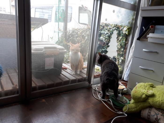 室内飼いの黄色猫、逃走してお腹空いたら帰ってくる