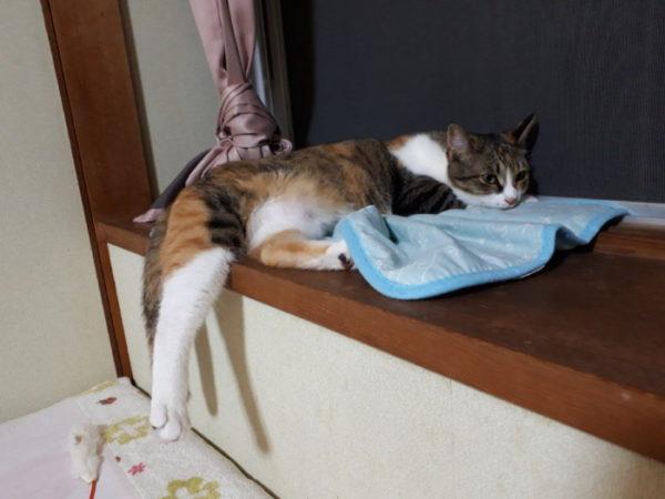 家に迷いこんできた三毛猫子猫を保護して7ヶ月