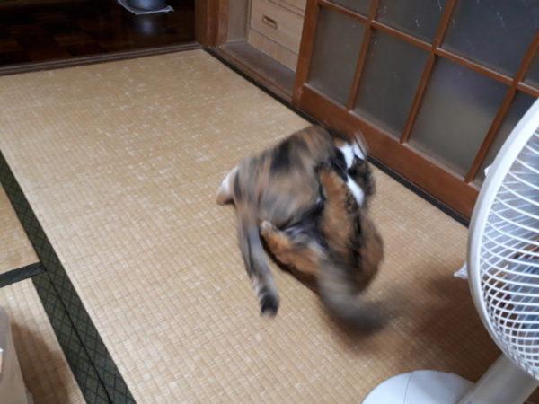 家に迷いこんできた三毛猫子猫を保護して7ヶ月 サビ猫しめじと縞三毛猫なめこ。