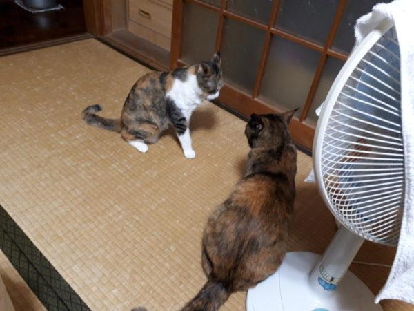 家に迷いこんできた三毛猫子猫を保護して7ヶ月 サビ猫しめじと縞三毛猫なめこのケンカ