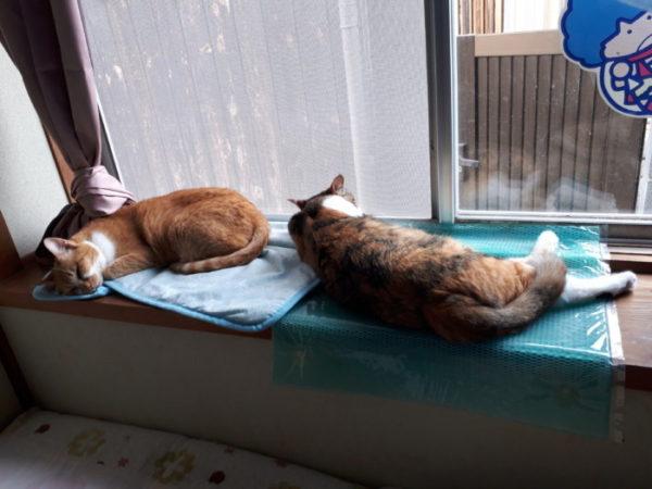 家に迷いこんできた三毛猫子猫を保護して7ヶ月 なめこ 黄色猫きなこ 仲良し