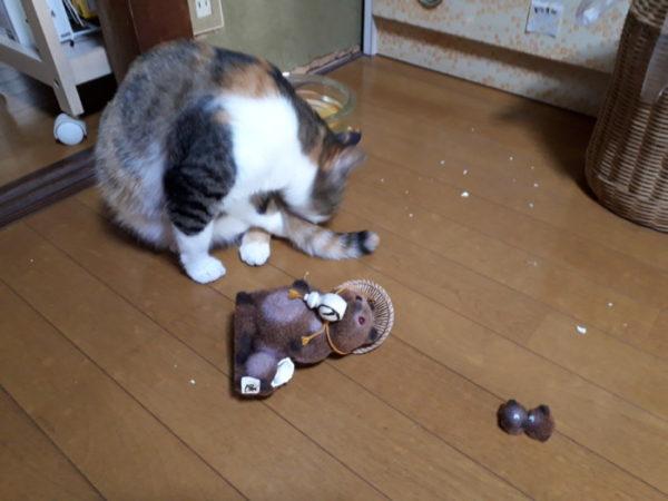 家に迷いこんできた三毛猫子猫を保護して7ヶ月 タヌキの置物を襲撃