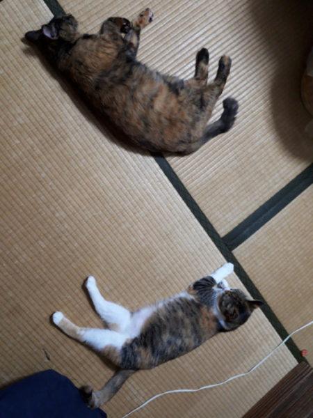 家に迷いこんできた三毛猫子猫を保護して7ヶ月 サビ猫しめじと縞三毛猫なめこ。ソーシャルディスタンス