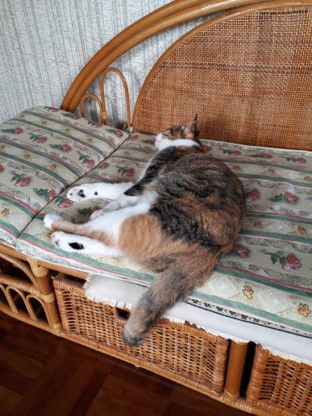 サビ猫しめじの気に入りの藤椅子を横取りする縞三毛猫なめこ