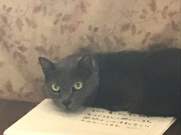 灰色猫ししゃも、全臼歯抜歯と歯石除去の手術受けました。