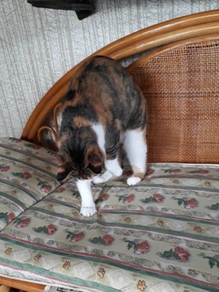 家に迷いこんできた三毛猫子猫を保護して7ヶ月 座布団を掘る