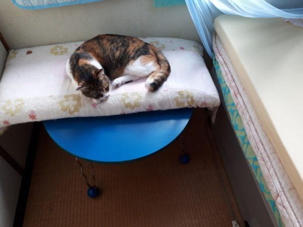 家に迷いこんできた三毛猫子猫を保護して7ヶ月 大分なつく