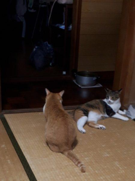 家に迷いこんできた三毛猫子猫を保護して7ヶ月 なめこ 黄色猫きなこ ケンカ