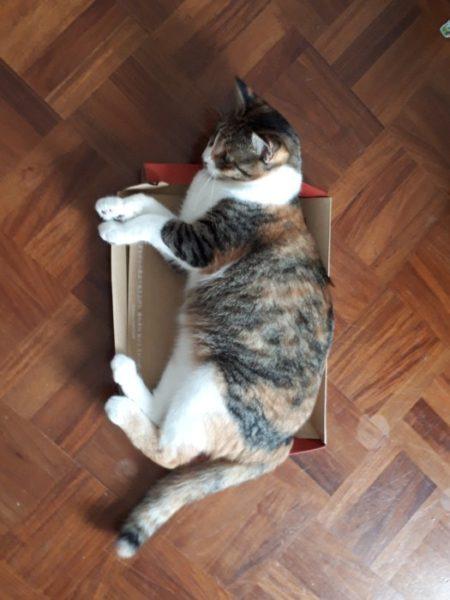 家に迷いこんできた三毛猫子猫を保護して7ヶ月 箱に収まってない