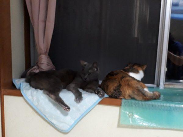 家に迷いこんできた三毛猫子猫を保護して7ヶ月 なめこ と灰色猫ししゃも