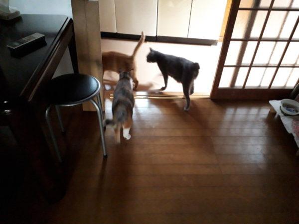完全室内飼いだけど、たまに脱走してしれっと帰ってくる黄色猫きなこ