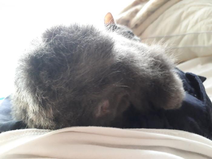 ジャパニーズボブテイルの灰色猫ししゃものお尻