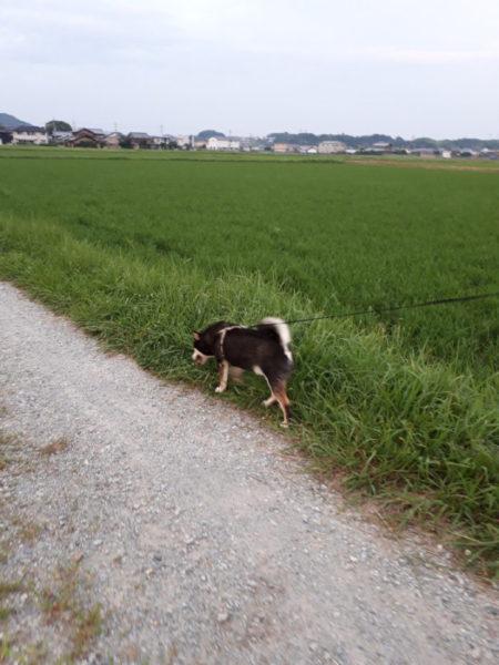 夏の田舎道を黒柴大ちゃんとお散歩。
