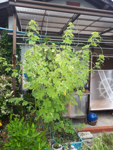 今年もネギ属の植え付け。【巨大プランターで家庭菜園】エビスグサ