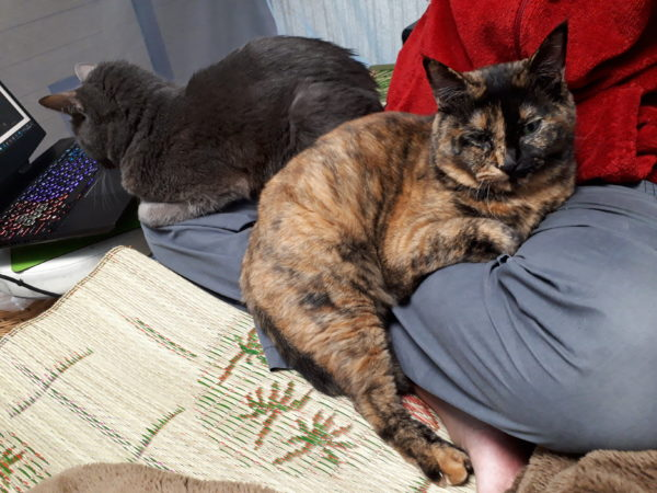 あぐらの両膝に猫。灰色猫ししゃもとサビ猫しめじ