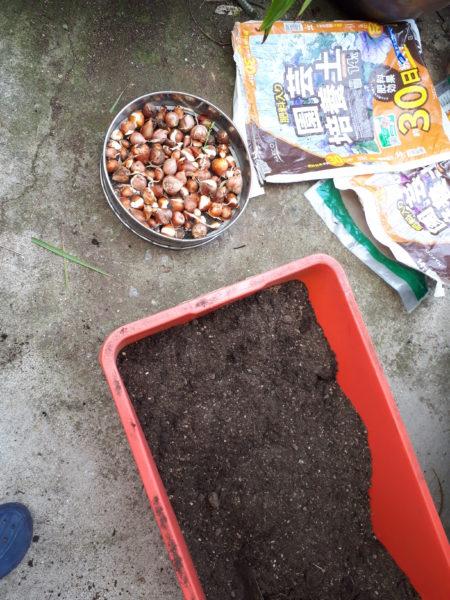 今年もネギ属の植え付け。【巨大プランターで家庭菜園】チューリップ