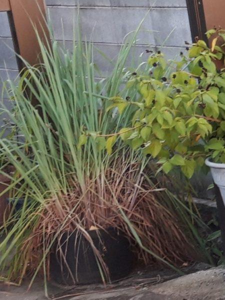 今年もネギ属の植え付け。【巨大プランターで家庭菜園】レモングラス