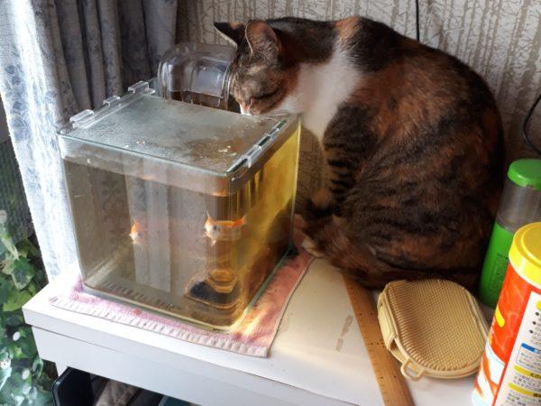 金魚の水槽の水飲む縞三毛猫なめこ