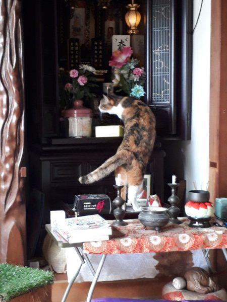 お仏壇を襲う、やんちゃな縞三毛猫なめこ