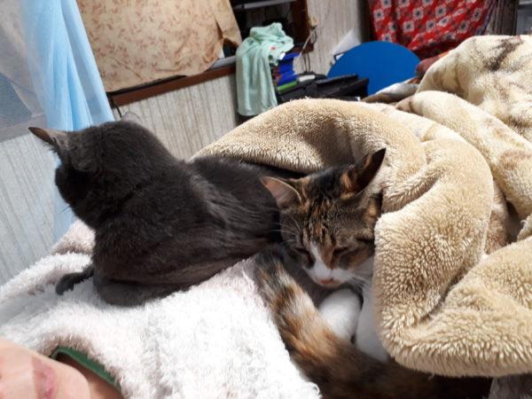 上に乗ってくる灰色猫ししゃもと縞三毛猫なめこ