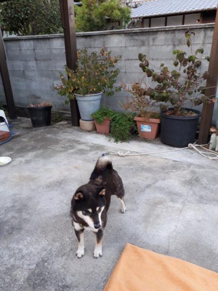 黒柴犬の大ちゃん、go to トラベル(我が家に)。ホームステイ